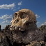 Az Australopithecus sediba holotípusának koponyája