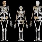 MH1 (balra), Lucy (középen) és MH2 (jobbra), idealizált Australopithecus hátérre vetítve. A sediba csontvázak kb. 1.3 méter magasak. Forrás: Wikimedia