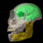 Kompozit grafika a sediba koponyájáról és agyáról
